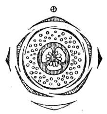 diagramma floreale